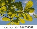 Green Young Oak Leaves Closeup...