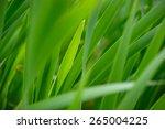 reed grass green leafs   Shutterstock . vector #265004225