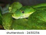 green tree python. | Shutterstock . vector #2650256