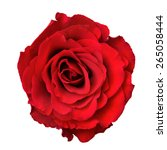 red rose isolated on white... | Shutterstock . vector #265058444