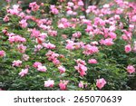 Stock photo pink roses garden in spring many beautiful roses blooming in the garden 265070639