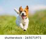 Stock photo purebred jack russel terrier dog outdoors on a sunny summer day 265071971
