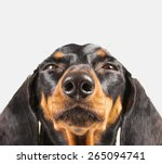 Stock photo cute dachshund dog on a white background funny portrait close up 265094741