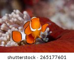 Clown Fish In Red Anemone ...