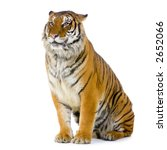 Tiger Sitting In Front Of A...