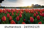 colorful tulips  tulips in... | Shutterstock . vector #265542125
