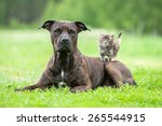 Stock photo american staffordshire terrier dog with little kitten on its back 265544915