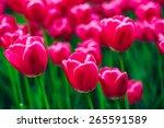 Pink Flowers Tulips In Spring...
