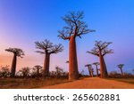 beautiful baobab trees after... | Shutterstock . vector #265602881
