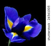 Blue Iris On Black Background ...
