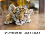Portrait Of A Little Tiger Cub...