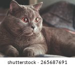 portrait of british shorthair... | Shutterstock . vector #265687691