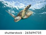 Sea Turtle Diving Down  A...
