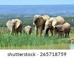 African Elephants In Addo...