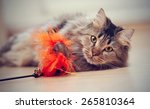 Stock photo the fluffy striped domestic cat plays with a toy 265810364