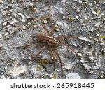 Spider Wolf On Gray Ground