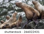 Steller Sea Lion Sitting On A...