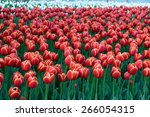 colorful tulips  tulips in... | Shutterstock . vector #266054315