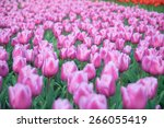 colorful tulips  tulips in... | Shutterstock . vector #266055419