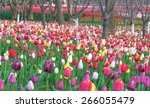 colorful tulips  tulips in... | Shutterstock . vector #266055479
