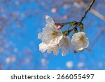 a branch of the cherry blossoms....   Shutterstock . vector #266055497