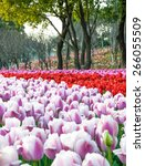 colorful tulips  tulips in... | Shutterstock . vector #266055509