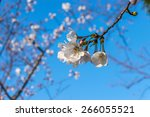 a branch of the cherry blossoms.... | Shutterstock . vector #266055521
