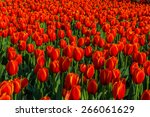 colorful tulips  tulips in... | Shutterstock . vector #266061629