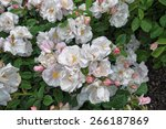 Beautiful Wilted White Roses I...