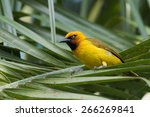 A Male Spectacled Weaver ...