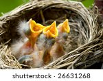 Three Hungry Baby Robins In A...