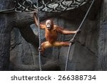 Stock photo portrait of a funny kid of orangutan hanging on a rope 266388734