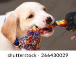 Stock photo adorable labrador retriever puppy playing tug of war with a colorful rope 266430029