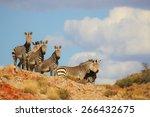 cape mountain zebra in rocky... | Shutterstock . vector #266432675