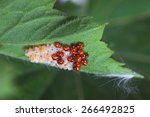 ladybug larvae and eggs of the... | Shutterstock . vector #266492825