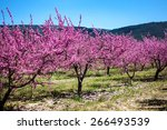 Blooming Peach  Orchard In...