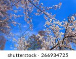 cherry blossoms at the... | Shutterstock . vector #266934725