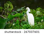 Great Egret  Heron