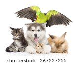 Stock photo group of pets lying in front isolated on white background 267227255