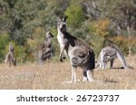 australian grey kangaroo in the ... | Shutterstock . vector #26723737