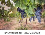 bunch of ripe red wine grapes... | Shutterstock . vector #267266435