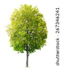 Isolated Linden Tree