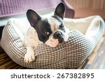 Adorable French Bulldog On The...