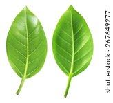 beautiful lush green leaf... | Shutterstock . vector #267649277