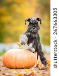 Miniature Schnauzer Puppy With...