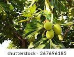 Breadfruit On The Tree.