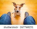 jack russell dog ready for a... | Shutterstock . vector #267768251