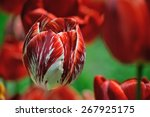 Red Tulip In The Field