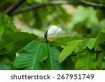 Big Leaves And White Flower Bu...