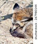 a bat eared fox sleeping on the ... | Shutterstock . vector #267980144